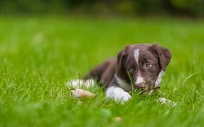 Picture grass, dog, puppy