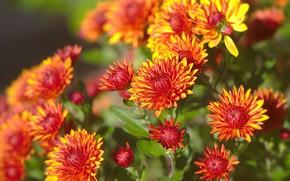 Picture light, Bush, garden, orange, chrysanthemum, bokeh