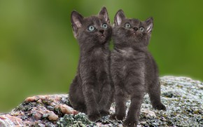 Picture animal, pair, black, Kitties