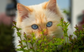 Picture greens, cat, cat, look, kitty, Bush, portrait, spring, fluffy, red, kitty, blue eyes, face, peach