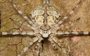 Picture eyes, spider, insect