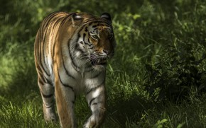 Picture grass, tiger, walk