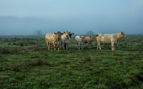 Picture field, cows, pasture, the herd