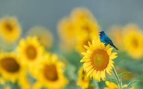 Picture field, summer, sunflowers, flowers, bird, glade, beak, yellow, bird, sitting, blue, a lot, sunflower, blue, …