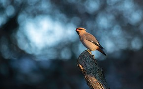 Picture background, bird, blue background, bitches, lunch, bokeh, column, the Waxwing