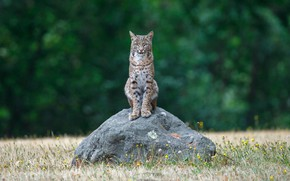 Picture grass, look, nature, pose, green, background, stone, lynx, sitting, wild cat, bokeh