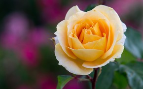 Picture rose, Bud, yellow