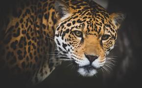 Picture look, face, background, Jaguar, wild cat