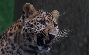 Picture background, leopard, grin