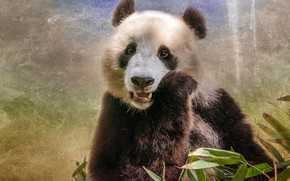 Picture bear, Panda, funny