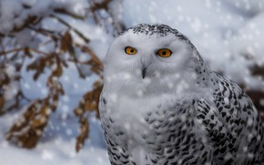 Picture winter, look, snow, branches, bird, portrait, snowfall, snowy owl