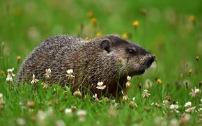 Picture summer, grass, look, flowers, glade, clover, walk, marmot