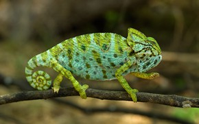 Picture green, chameleon, background, legs, branch, spiral, tail, profile, bokeh, spotted, reptile