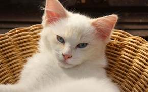 Picture cat, white, look