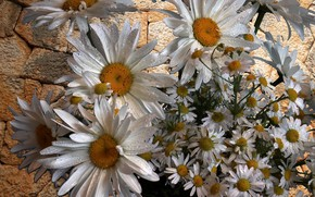 Picture summer, beauty, Chamomile, large