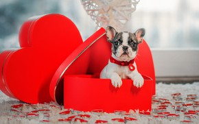 Picture look, box, gift, heart, dog, candles, baby, window, hearts, puppy, collar, red, French bulldog, Valentine's …