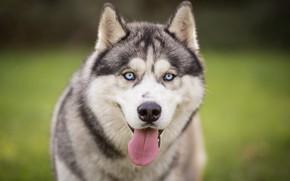 Picture language, look, face, nature, portrait, dog, blue eyes, green background, husky, Siberian husky