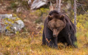 Picture autumn, forest, grass, look, face, trees, nature, pose, stones, bear, bear, sitting, brown