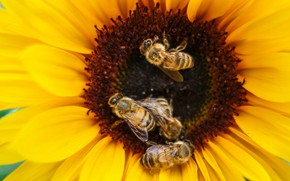 Picture flower, macro, insects, yellow, bee, sunflower, petals, bees