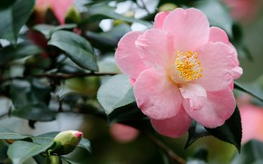 Picture flower, leaves, blur, branch, bokeh, Camellia, pale pink