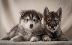 Picture dogs, background, portrait, puppies, a couple, Husky