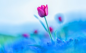 Picture flower, the sky, flowers, pink, Tulip, blur, spring, Bud, blue background, Muscari