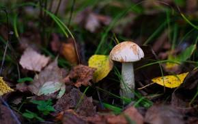 Picture autumn, grass, leaves, the dark background, mushroom, bokeh, boletus