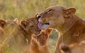 Picture language, love, weasel, kids, lions, the cubs, lioness, care, washing