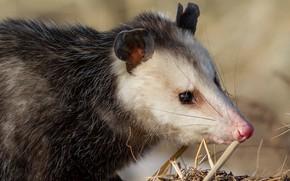 Picture look, face, background, portrait, nose, animal, possum