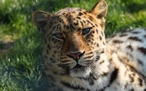 Picture face, leopard, lies