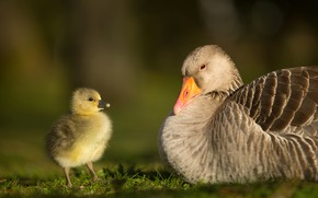 Picture birds, background, baby, pair, chick, two, goose, geese, Gosling, goose
