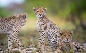 Picture background, wild cats, bokeh, cheetahs