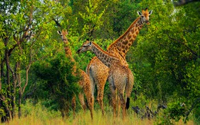 Picture greens, look, trees, branches, nature, thickets, foliage, giraffe, giraffes, three, trio, the bushes, family, neck