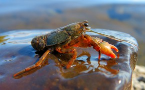Picture water, nature, pose, background, shore, stone, crab, crab