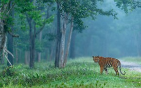 Picture forest, look, trees, tiger