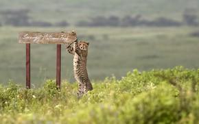 Picture africa, Cheetah, Serengeti National Park