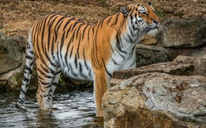 Picture cat, look, water, nature, tiger, pose, stones, paws, is, pond, wild