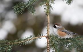 Picture branches, nature, background, tree, bird, grey, bird, needles, little, coniferous, bokeh, spruce