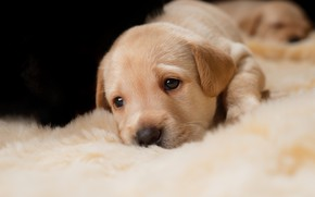 Picture look, dog, small, baby, puppies, puppy, lies, fur, face, Golden, Retriever