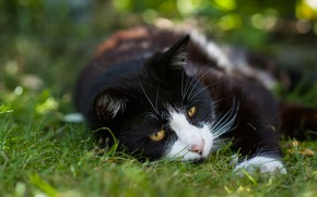 Wallpaper greens, cat, summer, grass, cat, face, nature, pose, background, stay, black and white, black, lies, ...