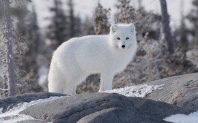 Picture winter, forest, stones, Fox, polar Fox