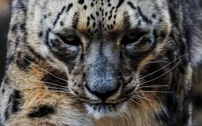 Picture profile, snow leopard, IRBIS