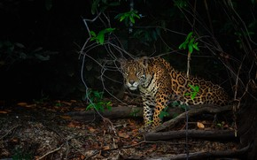 Picture look, night, branches, the dark background, jungle, Jaguar, sitting, driftwood