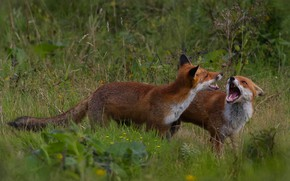 Picture grass, the game, Fox, pair, Fox