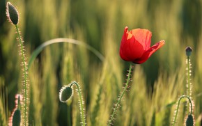 Picture field, flower, summer, light, red, stems, glade, one, Mac, rye, Maki, spikelets, ears, buds, cereals, ...