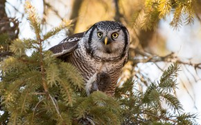 Picture look, branches, owl, bird, mouse, needles, mining