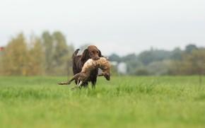 Picture rabbit, hunter, hunting, prey