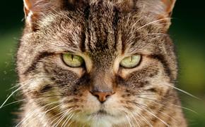 Picture cat, look, face, Kote, cat