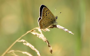 Picture butterfly, macro flowers nature, Polyommatus Icarus