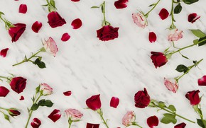 Picture white, background, roses, petals, pink, buds